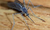 Mosquitoes to prevent Malaria!