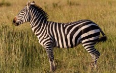 Book Review: How the Zebra Got its Stripes: And Other Darwinian Just So Stories