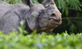 Rhinoceros population up 35 times in 107 years