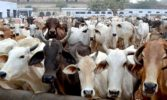 Award life imprisonment to cow killers, suggests Rajasthan High Court
